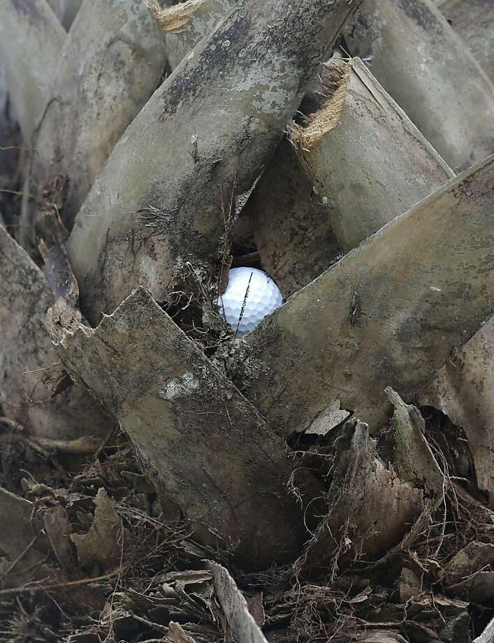 Good luck with this lie, Tiger: Tiger Woods' ball rests in a palm tree after his shot on the 17th hole during the third round of the Cadillac Championship in Doral, Fla. It didn't matter - Woods went on to win the tournament. Photo: Wilfredo Lee, Associated Press