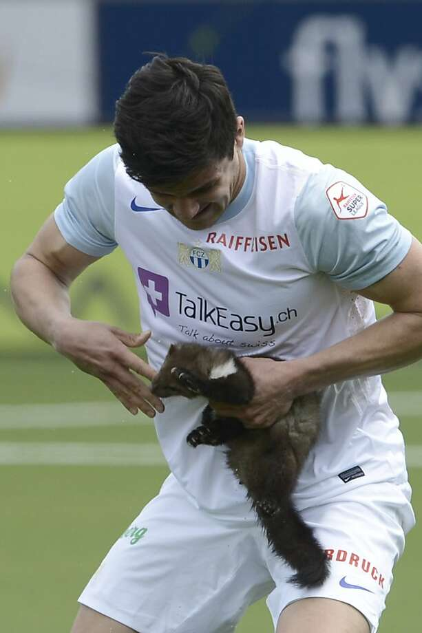 Chomp goes the weasel: A frightened marten bites the finger of Zurich soccer player Loris Benito, who caught the animal on the pitch of a Swiss Super League match in Thun, Switzerland. Photo: Marcel Bieri, Associated Press