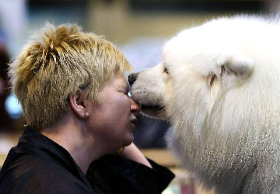 Loving licks interrupt Tracey Elder's last-minute pep talk for her Samoyed Bolan during the final day at Crufts dog show in Birmingham, England. Photo: Rosie Hallam, Getty Images