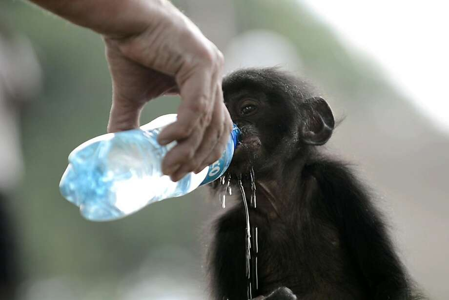 Some spillage is unavoidable: An orphaned bonobo drinks sloppily from a water bottle after being rescued at the Jardin Rose bar in Kinshasa's Kinkole neighborhood. Its new home will be Lola ya bonobo (Paradise for bonobos), a sanctuary outside Kinshasa for bonobos saved from illegal trafficking. Photo: Junior D. Kannah, AFP/Getty Images