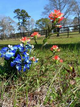 Texas wildflowers (Lisa Griffis/Reader submission) Photo: Reader Photo / COPYRIGHT, 2010