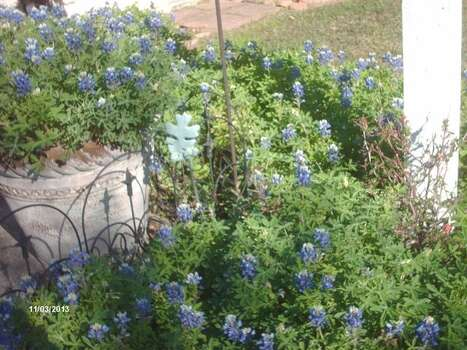 These early bluebonnets started blooming about Feb. 1. (E.L. Gill/Reader submission) Photo: Reader Photo