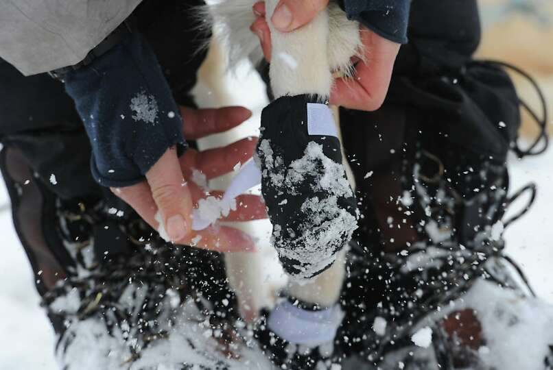Aliy Zirkle removes a dog bootie after arriving in Unalakleet on Sunday, March 10, 2013, during the