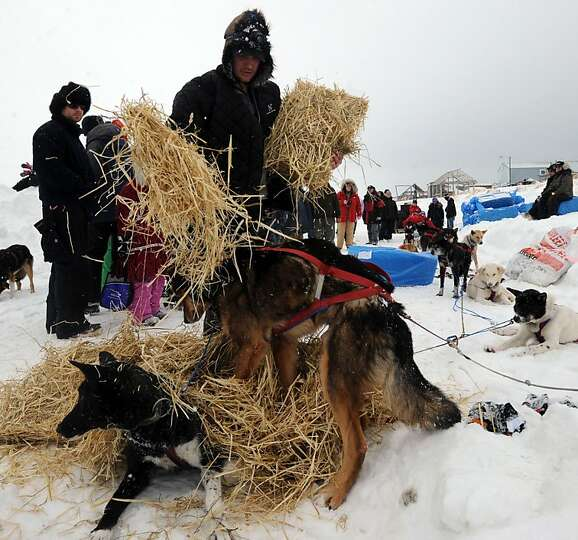 Ray Redington, Jr., gives his dogs straw to bed down in Unalakleet on Sunday, March 10, 2013, during