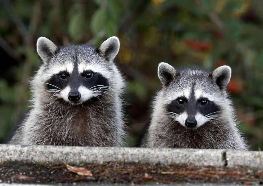 Hungry raccoons, with their widely varied diet, will explore whatever smells good to them, including amendment recently dug into the soil that they perceive might be connected with tasty morsels. Photo: Brant Ward, The Chronicle