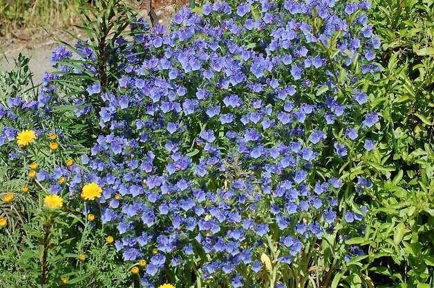 Choose versatile, long-blooming 'Blue Bedder' to add instant color to a perennial bed or hanging basket. Photo: Erle Nickel