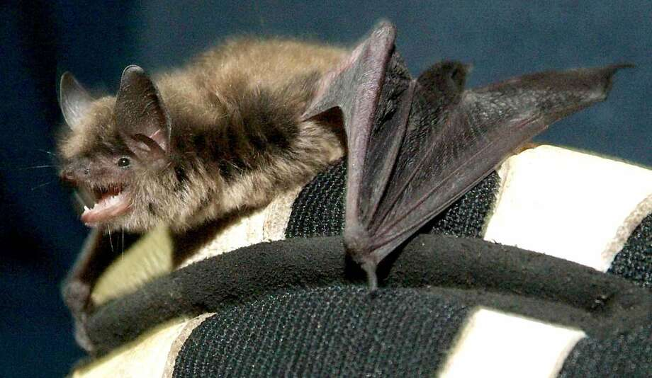 A little brown bat, a common bat species in the northeastern United States. Officials have not identified the species of bat a student brought to Whitby School in Greenwich, Conn. The bat was subsequently tested for rabies. Photo: Lisa Weir, ST