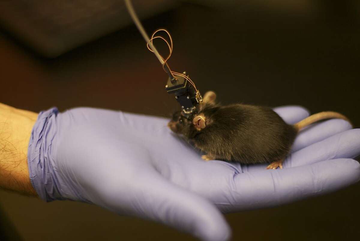 A mouse sports headgear that allows scientists to see how it accesses memories.