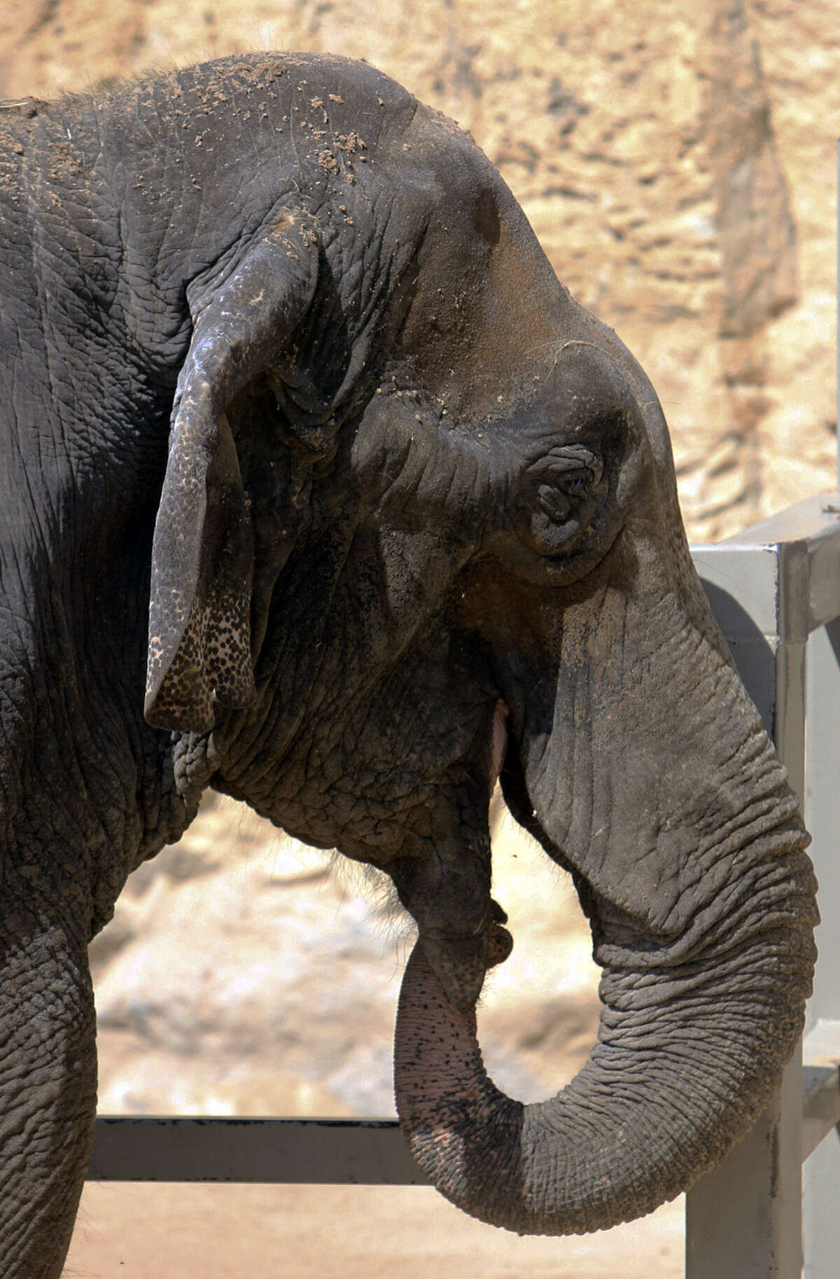 Boo is introduced to the public at the San Antonio Zoo. Boo arrived in 2010 from a private owner.