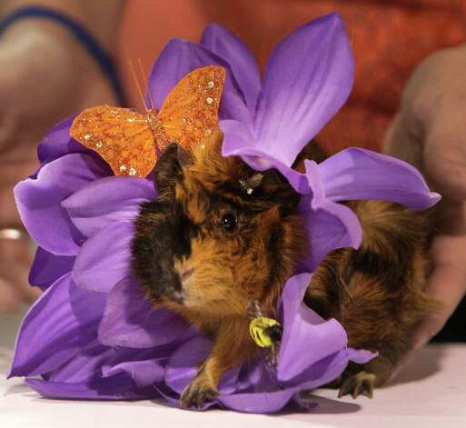 A guinea pig named Iola is shown dressed as a flower for the open rabbit and cavy costume contest in Reliant Arena during the Houston Livestock Show and Rodeo Saturday, March 9, 2013, in Houston. Photo: Melissa Phillip, Houston Chronicle / © 2013  Houston Chronicle