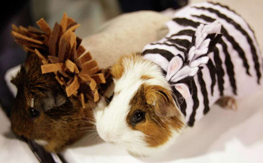 Guinea pigs dressed a lion and zebra costume  shown during the open rabbit and cavy costume contest during the Houston Livestock Show and Rodeo Saturday, March 9, 2013, in Houston. Photo: Melissa Phillip, Houston Chronicle / © 2013  Houston Chronicle