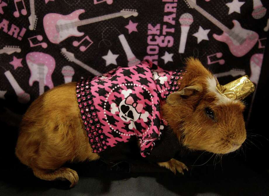 A guinea pig is shown dressed as a rock star for the open rabbit and cavy costume contest during the Houston Livestock Show and Rodeo Saturday, March 9, 2013, in Houston. Photo: Melissa Phillip, Houston Chronicle / © 2013  Houston Chronicle