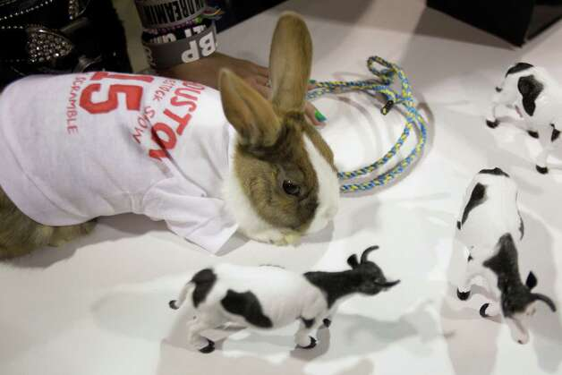 A Dutch rabbit is shown dressed for the calf scramble during the open rabbit and cavy costume contest at the Houston Livestock Show and Rodeo Saturday, March 9, 2013, in Houston. The rabbit owned by Angel Zepeda of Houston place first in the contest. Photo: Melissa Phillip, Houston Chronicle / © 2013  Houston Chronicle