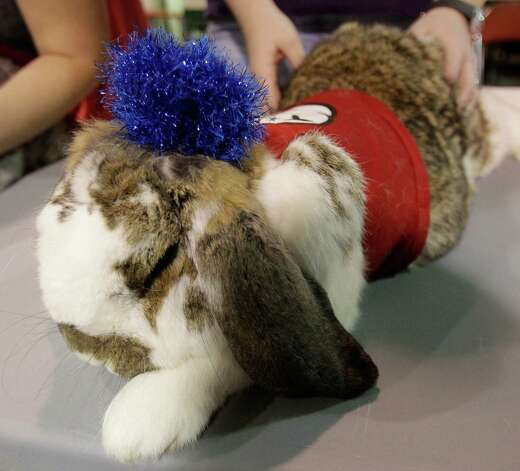 A French lop rabbit named Foxtrot is shown dressed as Thing 1 for the open rabbit and cavy costume contest during the Houston Livestock Show and Rodeo Saturday, March 9, 2013, in Houston. Photo: Melissa Phillip, Houston Chronicle / © 2013  Houston Chronicle