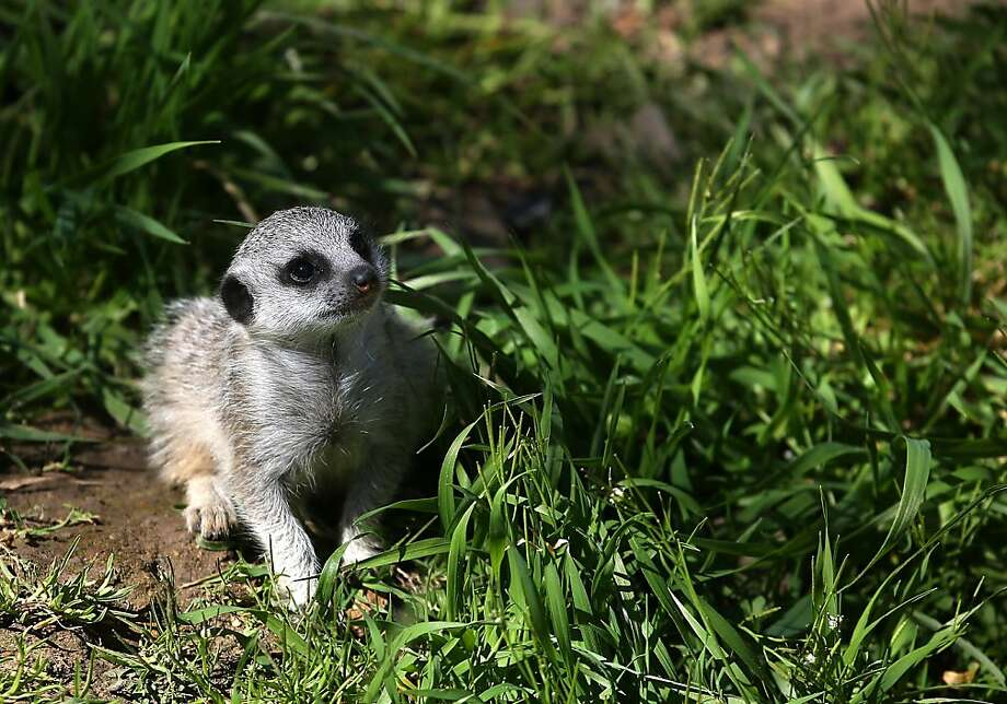 A 6-week-old meerkat pup walks through the grass in its enclosure at the Oakland Zoo on March 11, 2013 in Oakland, California. The Oakland Zoo is welcoming three 6-week-old meerkat pups to their current mob, or clan of meerkats. The new pups are named Ayo, Rufaro and Nandi.  (Photo by Justin Sullivan/Getty Images) Photo: Justin Sullivan, Getty Images