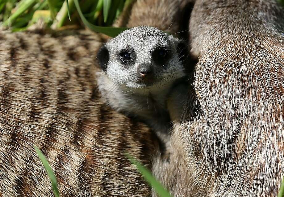 A 6-week-old meerkat pup lounges with adult meerkats in their enclosure at the Oakland Zoo on March 11, 2013 in Oakland, California. The Oakland Zoo is welcoming three 6-week-old meerkat pups to their current mob, or clan of meerkats. The new pups are named Ayo, Rufaro and Nandi. It is the first successful litter of meerkat pups in over a year. (Photo by Justin Sullivan/Getty Images) Photo: Justin Sullivan, Getty Images