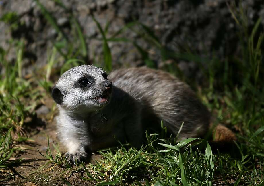 OAKLAND, CA - MARCH 11:  A 6-week-old meerkat pup walks through the grass in its enclosure at the Oakland Zoo on March 11, 2013 in Oakland, California. The Oakland Zoo is welcoming three 6-week-old meerkat pups to their current mob, or clan of meerkats. The new pups are named Ayo, Rufaro and Nandi.  (Photo by Justin Sullivan/Getty Images) Photo: Justin Sullivan, Getty Images