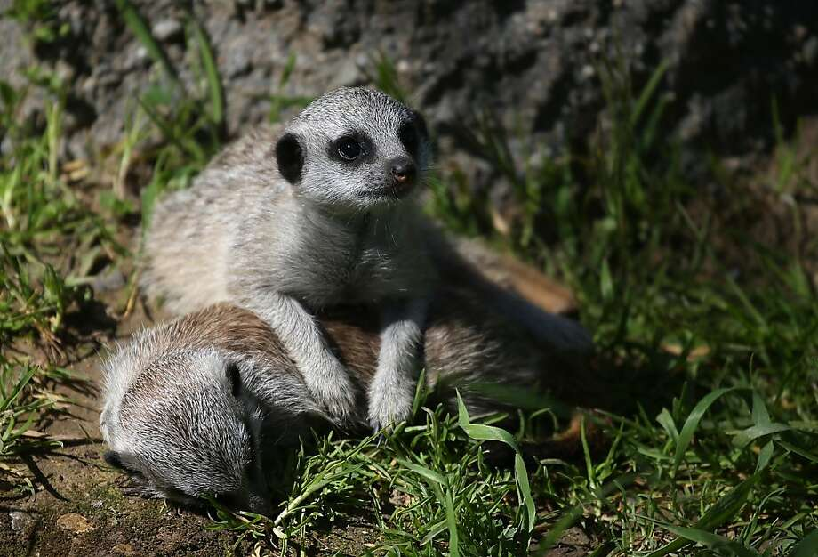Two 6-week-old meerkat pups lie down in their enclosure at the Oakland Zoo on March 11, 2013 in Oakland, California. The Oakland Zoo is welcoming three 6-week-old meerkat pups to their current mob, or clan of meerkats. The new pups are named Ayo, Rufaro and Nandi.  (Photo by Justin Sullivan/Getty Images) Photo: Justin Sullivan, Getty Images