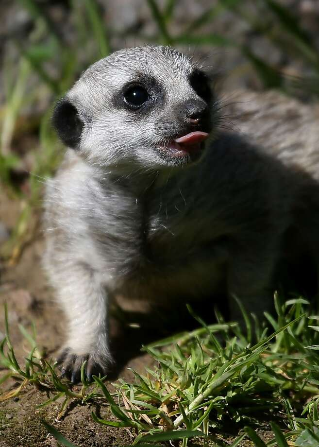 And that's what I think of curfew! A 6-week-old meerkat pup walks through the grass in its enclosure at the Oakland Zoo on March 11, 2013 in Oakland, California.  Photo: Justin Sullivan, Getty Images