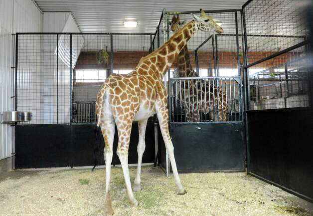 Petal, an endangered Rothschild giraffe, at the LEO Zoological Conservation Center in Greenwich, Conn., Tuesday, March 12, 2013. Petal, one of fewer than 700 such giraffes in the world, is pregnant and could give birth at any time from mid-March to mid-April. Photo: Helen Neafsey / Greenwich Time