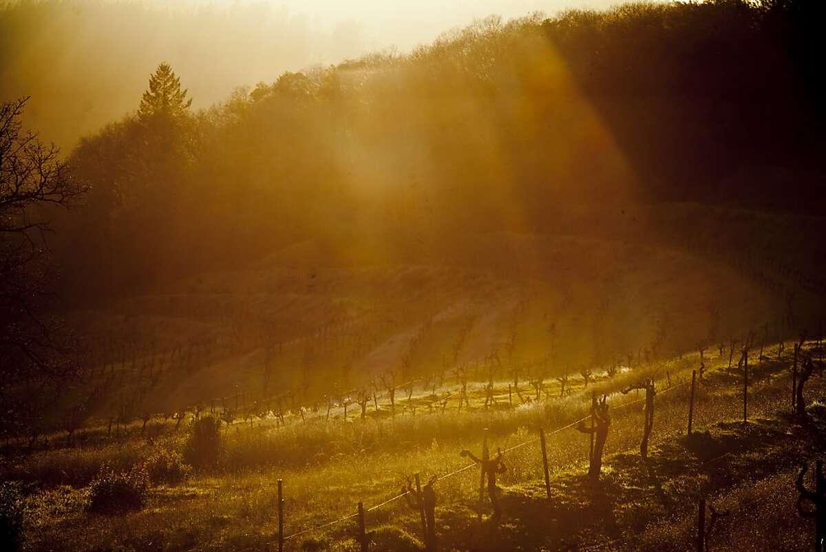 Vines at Mayacamas Vineyards on Mount Veeder, Calif., Friday, March 8, 2013.