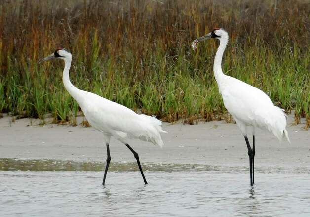 A pair of whooping cranes walk through shallow marsh  looking for food  in 2011, near the Aransas Wildlife Refuge in Fulton. A reader shares that more needs to be done to protect he endangered whooping cranes in Texas..    Dec. 17, 2011, near the Aransas Wildlife Refuge in Fulton, Texas. Scientists are concerned a devastating drought could hurt the recovery of the 300 endangered whooping cranes that winter in Texas. (AP Photo/Pat Sullivan) Photo: Pat Sullivan, Associated Press / AP