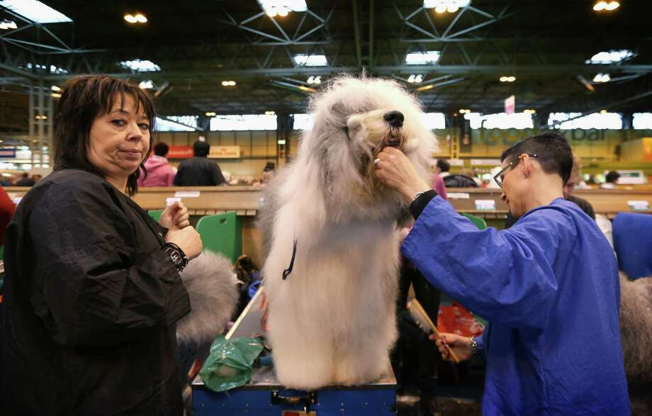 An Old English Sheepdog is groomed during the final day at Crufts Dog Show on March 10, 2013 in Birmingham, England. During this year's four-day competition over 22,000 dogs and their owners will vie for a variety of accolades but ultimately seeking the coveted 'Best In Show'. Photo: Rosie Hallam, Getty Images / 2013 Getty Images