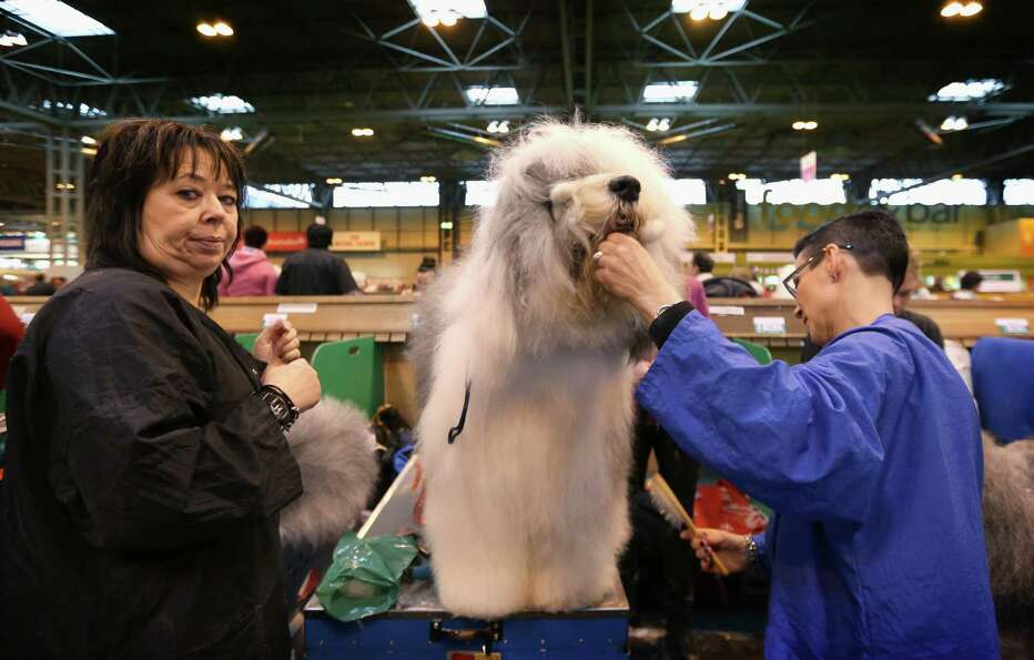 An Old English Sheepdog is groomed during the final day at Crufts Dog Show on March 10, 2013 in Birm