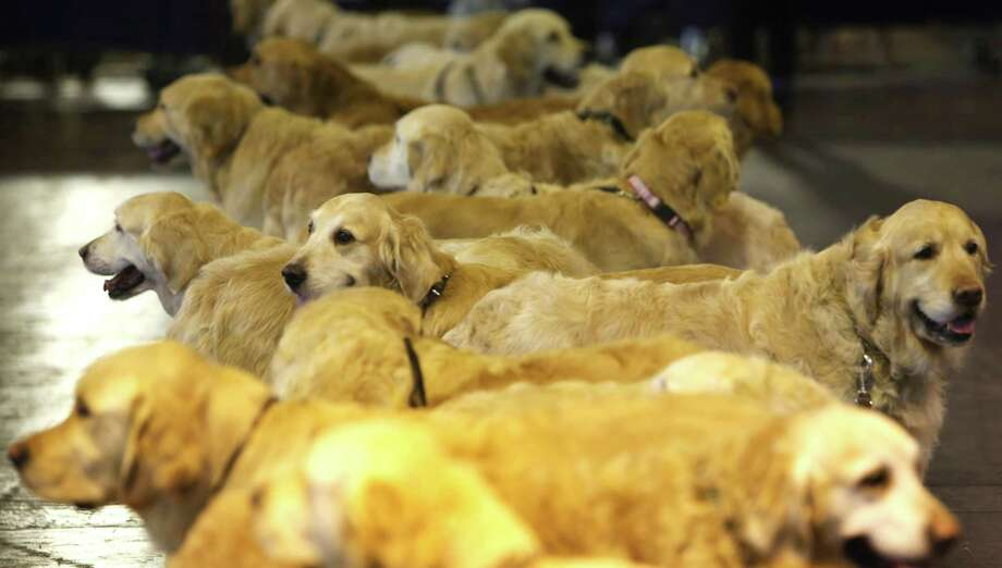 Golden retrievers meet up during the final day at Crufts Dog Show on March 10, 2013 in Birmingham, England. During this year's four-day competition over 22,000 dogs and their owners will vie for a variety of accolades but ultimately seeking the coveted 'Best In Show'. Photo: Rosie Hallam, Getty Images / 2013 Getty Images