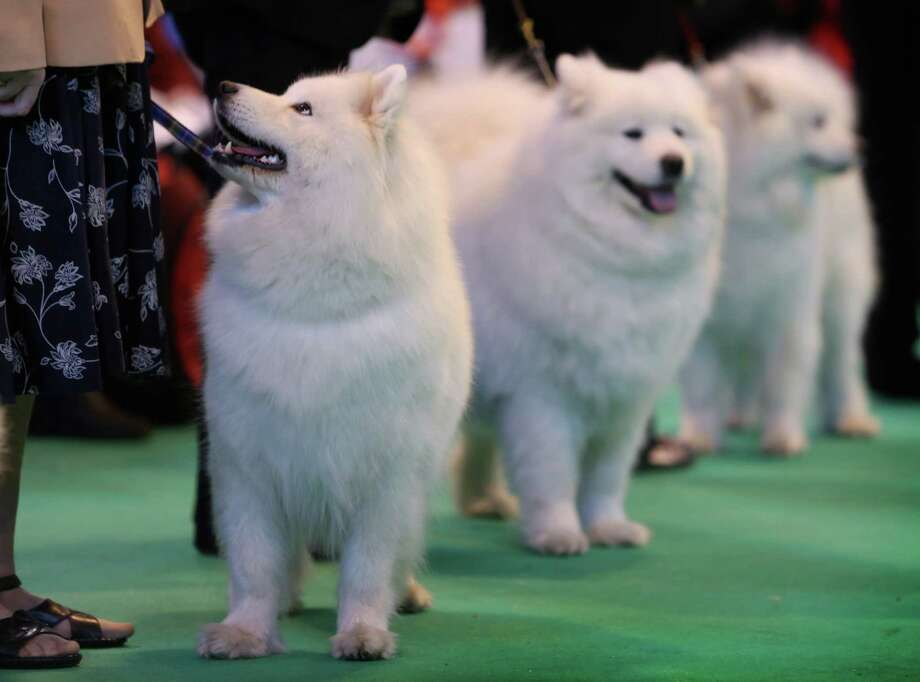 Samoyeds in the ring during the final day at Crufts Dog Show on March 10, 2013 in Birmingham, England. During this year's four-day competition over 22,000 dogs and their owners will vie for a variety of accolades but ultimately seeking the coveted 'Best In Show'. Photo: Rosie Hallam, Getty Images / 2013 Getty Images