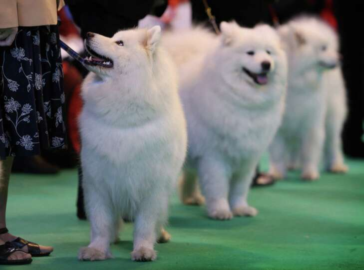 Samoyeds in the ring during the final day at Crufts Dog Show on March 10, 2013 in Birmingham, Englan