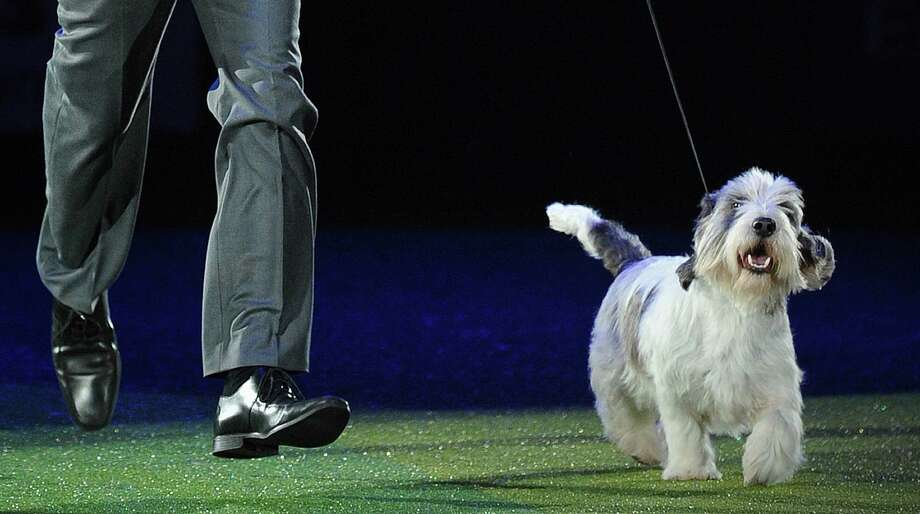 """Gavin Robertson and Jilly, a Basset Griffon Vendeen, walk after winning the Best in Show category at the Crufts Dog Show in Birmingham, in central England on March 10, 2013. The annual event sees dog breeders from around the world compete in a number of competitions with one dog going on to win the """"Best in Show"""" category. Photo: CARL COURT, AFP/Getty Images / AFP"""