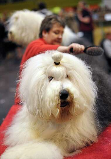 A woman brushes her Old English Sheepdog on the fourth day of Crufts dog show in Birmingham, central