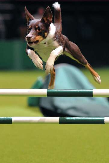 A dog performs a jump during the agility competition on the fourth day of Crufts dog show in Birming