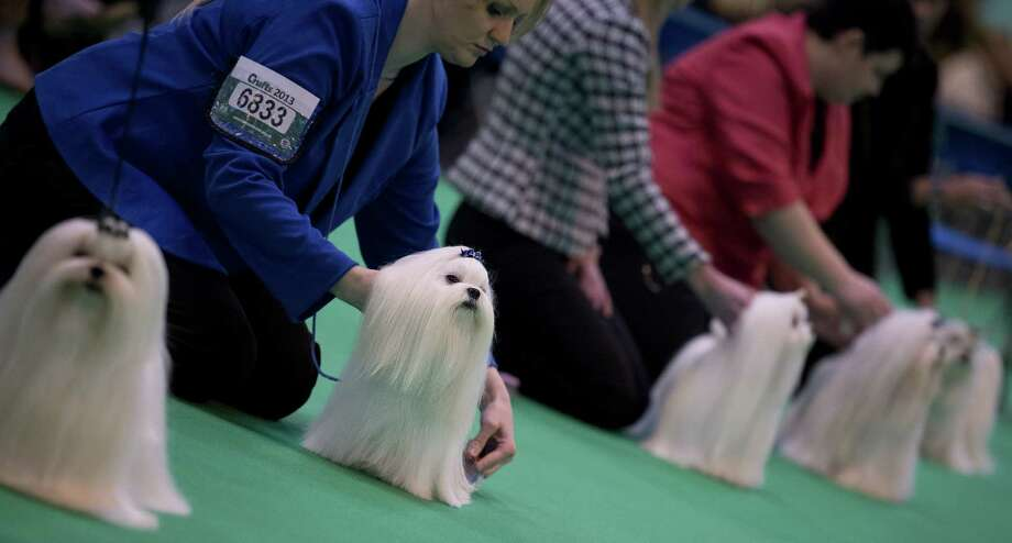 "Maltese dogs are seen in the show ring on the second day of the Crufts dog show in Birmingham, in central England on March 8, 2013. The annual event sees dog breeders from around the world compete in a number of competitions with one dog going on to win the ""Best in Show"" category. Photo: BEN STANSALL, AFP/Getty Images / AFP"
