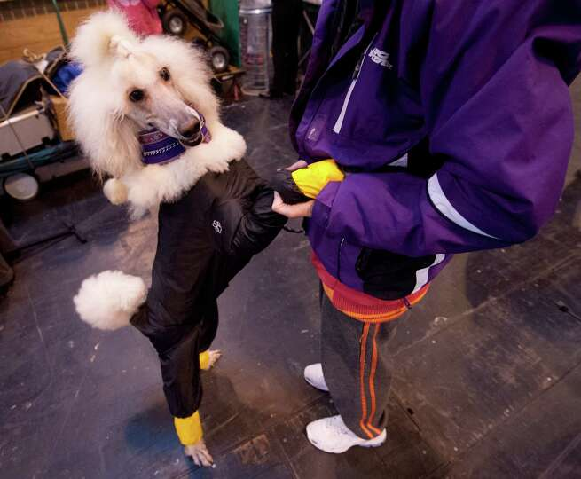 A Standard poodle wearing a waterproof suit greets her owner during the second day of the Crufts dog