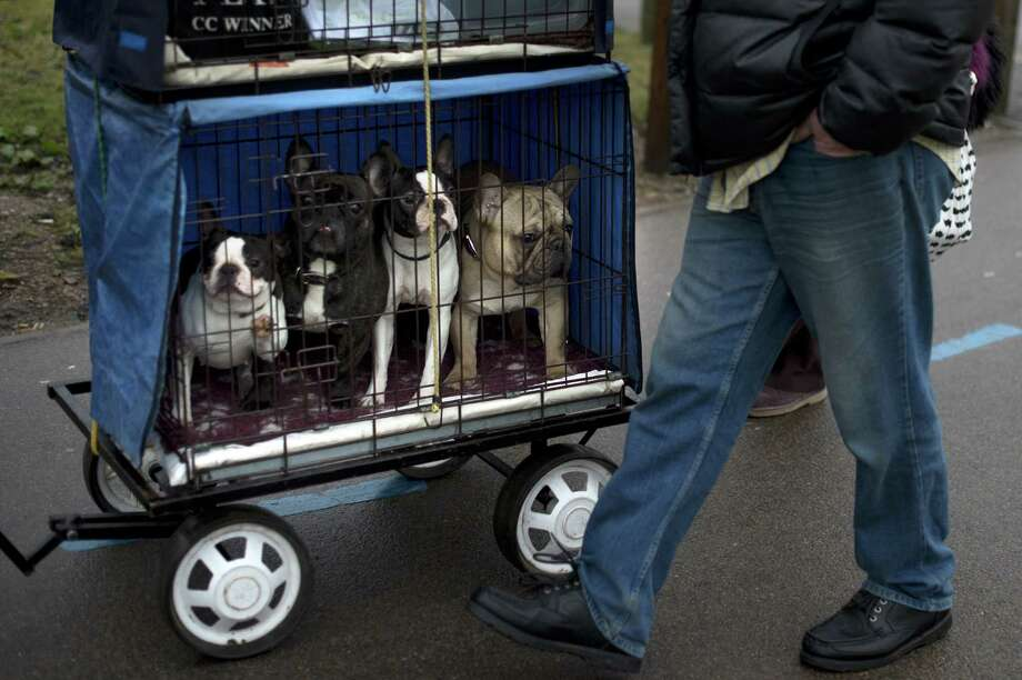 "A French bull dog (R) and three Boston terriers (L) arrive during the second day of the Crufts dog show in Birmingham, in central England on March 8, 2013. The annual event sees dog breeders from around the world compete in a number of competitions with one dog going on to win the ""Best in Show"" category. Photo: BEN STANSALL, AFP/Getty Images / AFP"