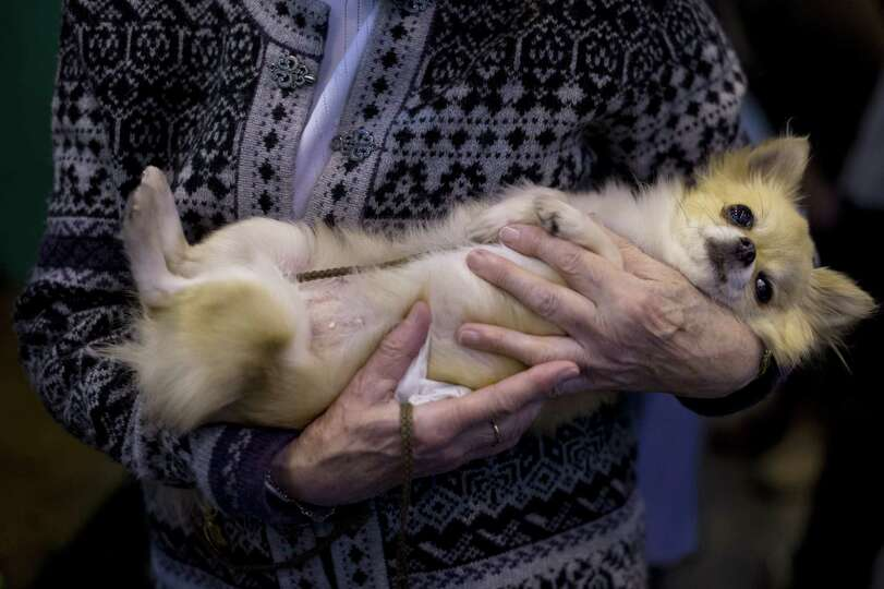 A woman holds her chihuahua during the second day of the Crufts dog show in Birmingham, in central E
