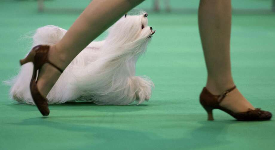 """A Maltese dog is seen in the show ring during the second day of the Crufts dog show in Birmingham, in central England on March 8, 2013. The annual event sees dog breeders from around the world compete in a number of competitions with one dog going on to win the """"Best in Show"""" category. Photo: BEN STANSALL, AFP/Getty Images / AFP"""
