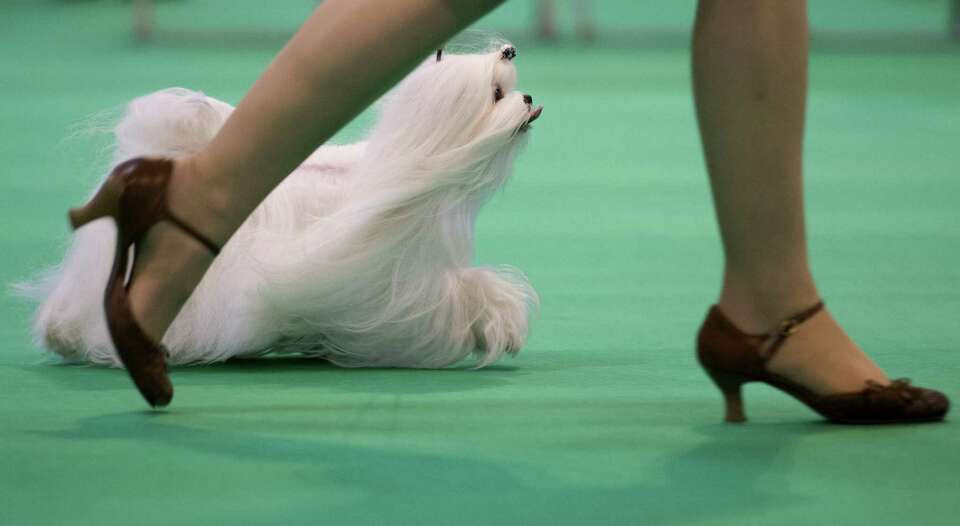 A Maltese dog is seen in the show ring during the second day of the Crufts dog show in Birmingham, i