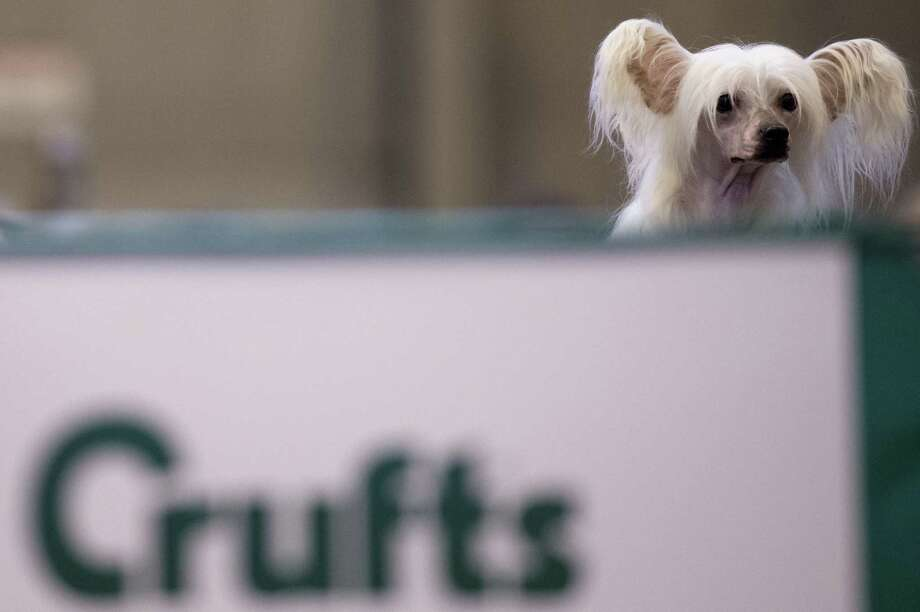 "A Chinese crested dog is seen during the second day of the Crufts dog show in Birmingham, in central England on March 8, 2013. The annual event sees dog breeders from around the world compete in a number of competitions with one dog going on to win the ""Best in Show"" category. Photo: BEN STANSALL, AFP/Getty Images / AFP"