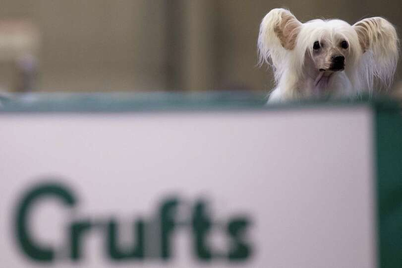 A Chinese crested dog is seen during the second day of the Crufts dog show in Birmingham, in central