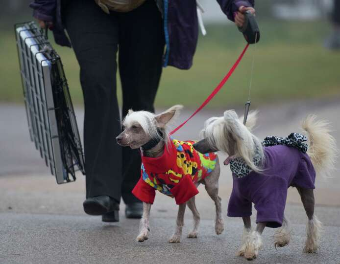 An owner arrives with her Chinese Crested dogs during the second day of the Crufts dog show in Birmi