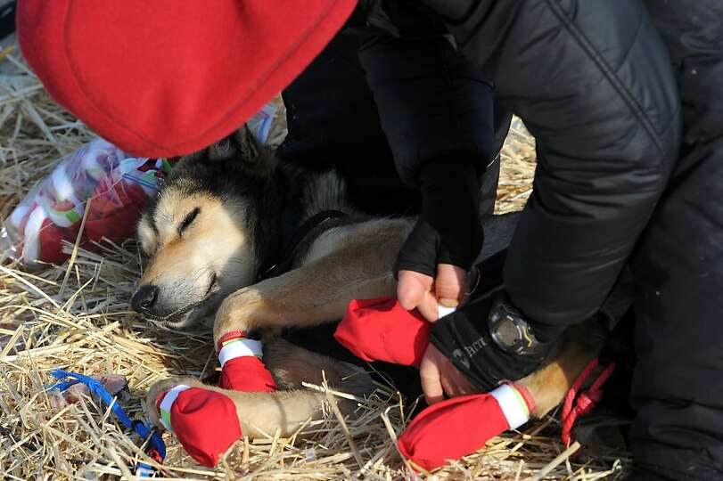 Mitch Seavey puts boots on his dog team before leaving White Mountain in Alaska, Tuesday, March 12,