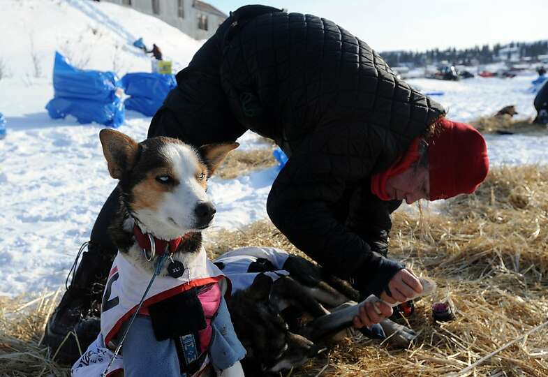 Aliy Zirkle puts booties on her dogs before leaving White Mountain in Alaska, Tuesday, March 12, 201