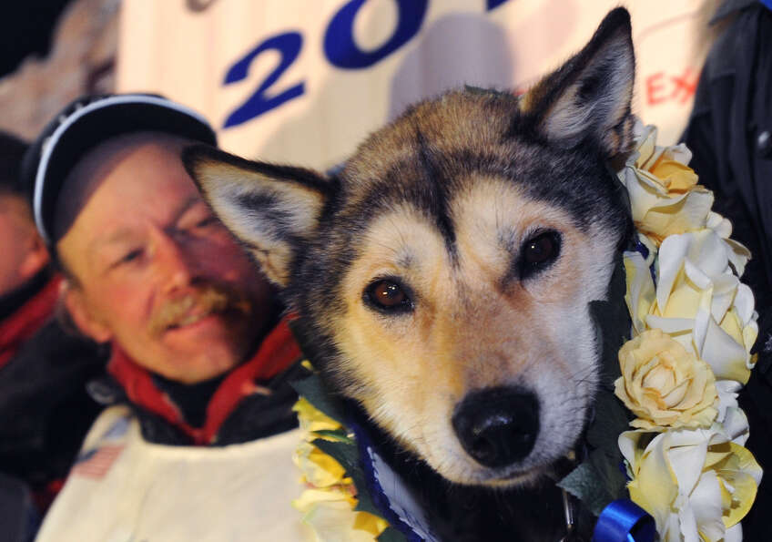 Mitch Seavey holds one of his lead dogs, Taurus, as he poses for photographers at the finish line of