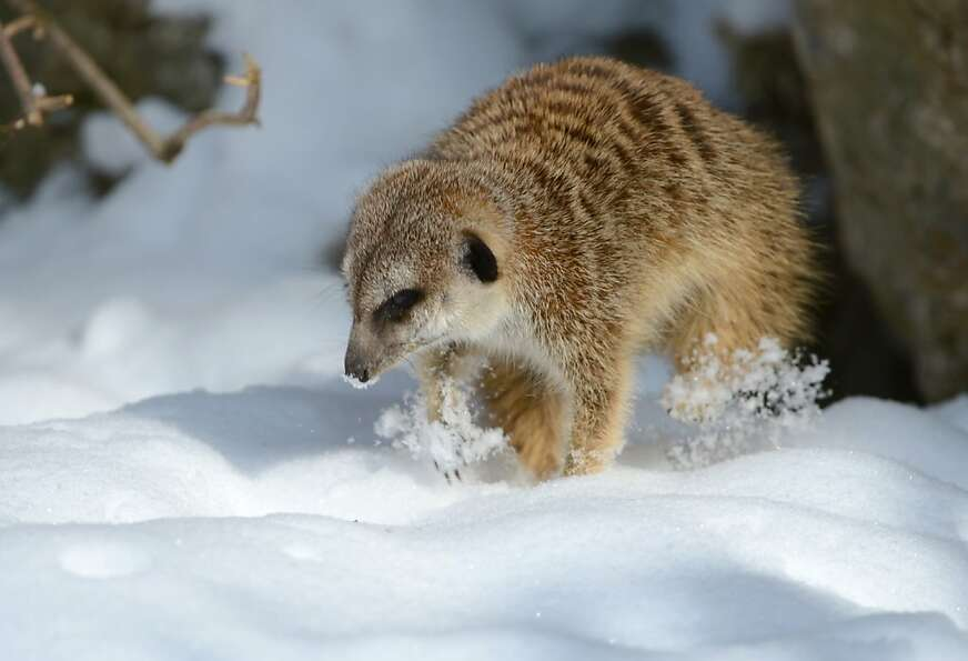 Snow 'kat: Winter returns to Germany, covering a meerkat's playground with a blanket of white