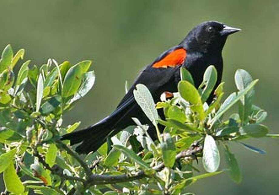 Red-winged blackbird -- this one sighted at the Presidio -- has sweet mating call
