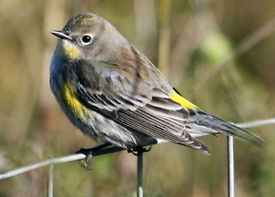 Yellow-rumped warbler, a little fellow with a lot of personality, sighted at Presidio