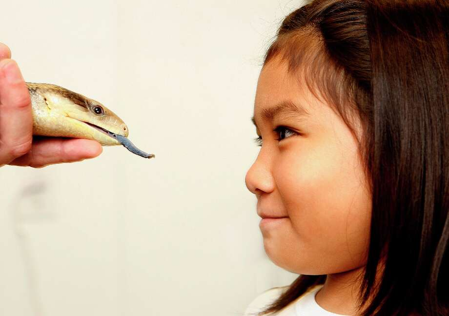Nine-year-old Bronwyn Miguel from Daly City comes face to face with a blue tongued skink at the California Academy of Sciences in San Francisco on July 1, 2011. Bronwyn won a Name the Snake contest with her entry of 'Kirana' for the Academy's biggest snake, an 18-foot-long, 150-pound python. Photo: Liz Hafalia, The Chronicle / SFC